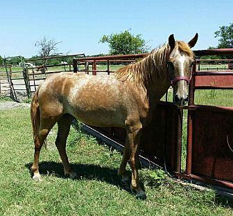 Pony - Other/Pony - of America Mix for adoption in Bryan, Texas - Carina