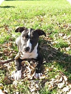 Dachshund/Beagle Mix Puppy for adoption in Shakopee, Minnesota - Hershey D3289