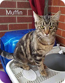Domestic Shorthair Cat for adoption in Irwin, Pennsylvania - Muffin