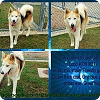Adopt A Pet :: Lobo - Irving, TX