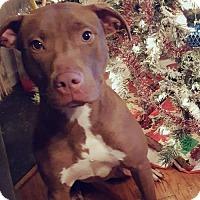 American Pit Bull Terrier Mix Dog for adoption in Glen Burnie, Maryland - Zara