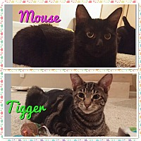 Adopt A Pet :: Tigger/ mouse - Chicago, IL