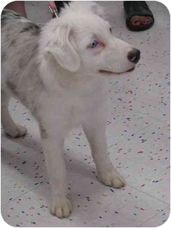 Australian Shepherd Puppy for adoption in Mesa, Arizona - Morgan