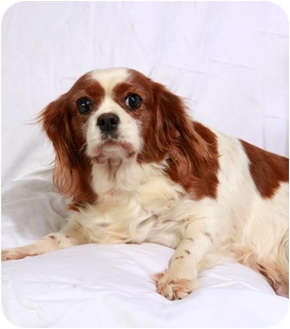 Cavalier King Charles Spaniel Dog for adoption in St. Louis, Missouri - Cathy Cavalier