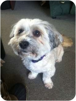 Shih Tzu Mix Dog for adoption in Vancouver, British Columbia - Teddi - Adoption Pending