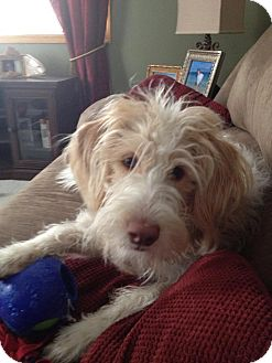 Labradoodle Mix Dog for adoption in Minnetonka, Minnesota - Sandy