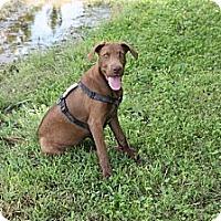 Adopt A Pet :: Maverick - Richmond, VA