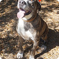 American Staffordshire Terrier Mix Dog for adoption in Ravenel, South Carolina - Lucky