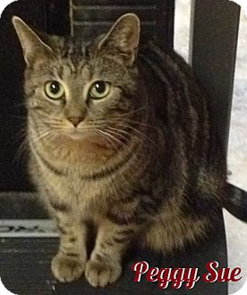 Domestic Shorthair Cat for adoption in Covington, Kentucky - Peggy Sue