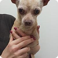 Adopt A Pet :: Q-Tip - Westminster, CA