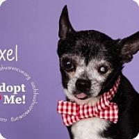 Adopt A Pet :: Axel - Mesa, AZ