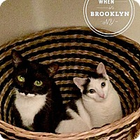 Domestic Mediumhair Cat for adoption in Brooklyn, New York - Sue & Sasha: sweet & stylish 2-yr-old sisters