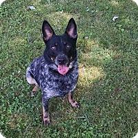Adopt A Pet :: McGyver - Foster, RI