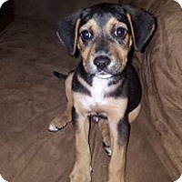 Adopt A Pet :: Copper Adoption pending - Manchester, CT