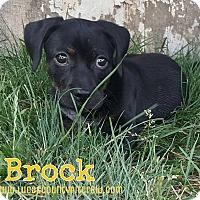 Adopt A Pet :: Brock - Toledo, OH
