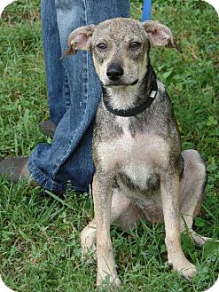 Italian Greyhound/Beagle Mix Puppy for adoption in Spring Valley, New York - Buttercup