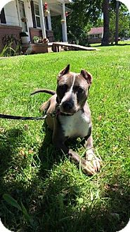 American Staffordshire Terrier/American Pit Bull Terrier Mix Dog for adoption in Covington, Tennessee - Lily
