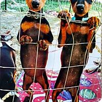 Adopt A Pet :: Minpin 5 - Yuba City, CA