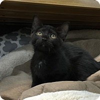 Domestic Shorthair Kitten for adoption in Tallahassee, Florida - Arthur