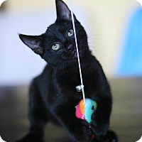 Domestic Shorthair Kitten for adoption in Studio City, California - Lacey