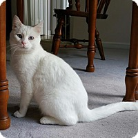 Domestic Mediumhair Cat for adoption in Valley Park, Missouri - Romeo