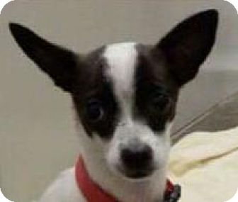 Rat Terrier/Chihuahua Mix Dog for adoption in Winder, Georgia - Lilly C