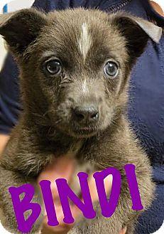 Australian Shepherd/German Shepherd Dog Mix Puppy for adoption in Fort Wayne, Indiana - Bindi
