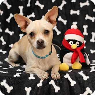 Chihuahua Mix Dog for adoption in Yucaipa, California - Goblin