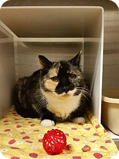 Domestic Shorthair Cat for adoption in Idaho Falls, Idaho - Paige