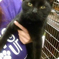 Adopt A Pet :: Midnight - South Bend, IN