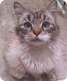 Balinese Cat for adoption in Merrifield, Virginia - Marble