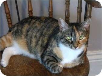 Domestic Shorthair Cat for adoption in Markham, Ontario - Renee