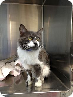 Domestic Mediumhair Cat for adoption in Waldorf, Maryland - Ivan #1732