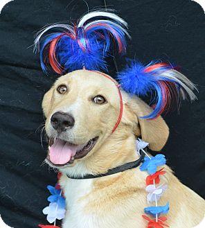 Labrador Retriever Mix Puppy for adoption in Plano, Texas - Nikki