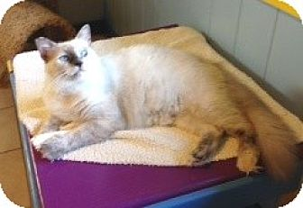 Balinese Cat for adoption in Makawao, Hawaii - Sugar