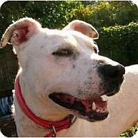 Bull Terrier/Dalmatian Mix Dog for adoption in Cleveland, Ohio - HELEN