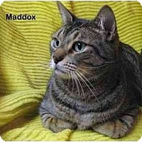 Adopt A Pet :: Maddox - Portland, OR