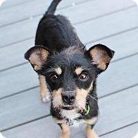 Adopt A Pet :: Pastel - Smyrna, GA
