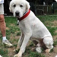 Adopt A Pet :: Bear - Indian Trail, NC