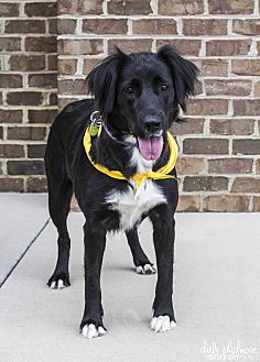 Flat-Coated Retriever/Border Collie Mix Dog for adoption in Mooresville, North Carolina - Georgia