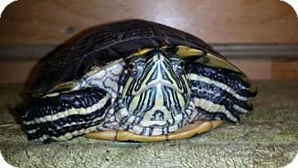 Turtle - Other for adoption in Markham, Ontario - Audie