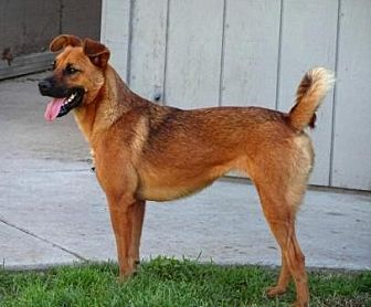 Shepherd (Unknown Type) Mix Dog for adoption in Lathrop, California - Doodle