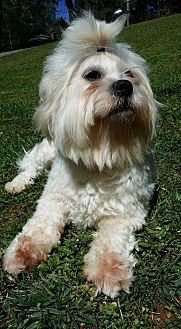 Lhasa Apso Dog for adoption in Lawrenceville, Georgia - Bobby