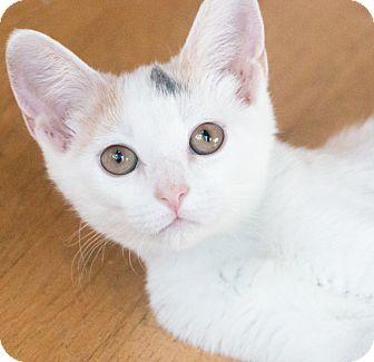 Calico Kitten for adoption in Chicago, Illinois - Mystique
