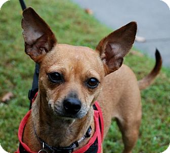 Chihuahua Mix Dog for adoption in Alpharetta, Georgia - NancyHanks