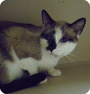 Siamese Cat for adoption in Hamburg, New York - Milan
