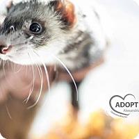 Adopt A Pet :: Snap - Alexandria, VA