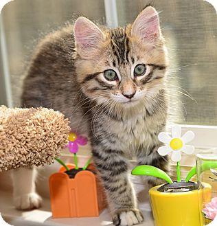 Maine Coon Kitten for adoption in Davis, California - Georgie Boy