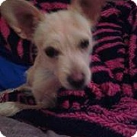 Terrier (Unknown Type, Medium)/Chihuahua Mix Puppy for adoption in Seattle, Washington - Jerry - Sweet Scruffy Terrier Mix