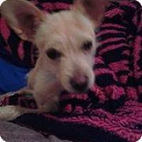 Adopt A Pet :: Jerry - Sweet Scruffy Terrier Mix - Seattle, WA